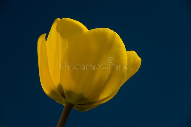 Fiore giallo del tulipano su fondo blu fotografie stock