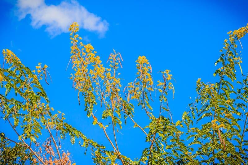 Fiore giallo dell'albero siamese della cassia (siamea della senna) con il fondo del cielo blu Siamea della senna (tailandese: khi fotografia stock libera da diritti