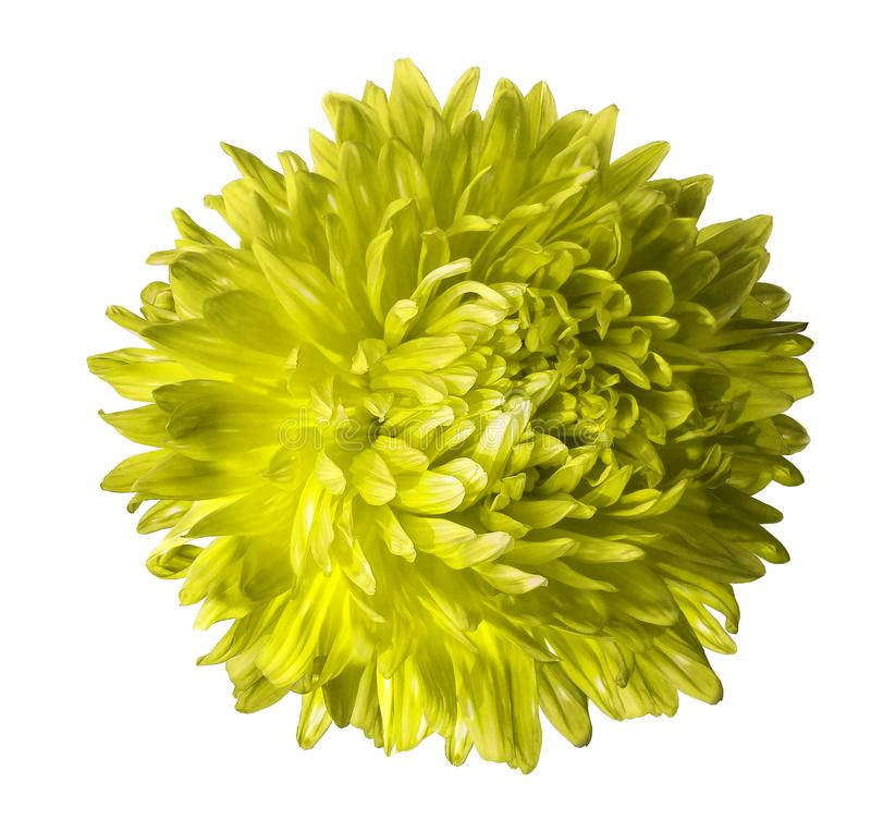 Fiore giallo dell'aster isolato su fondo bianco con il percorso di ritaglio Primo piano nessun ombre fotografia stock libera da diritti