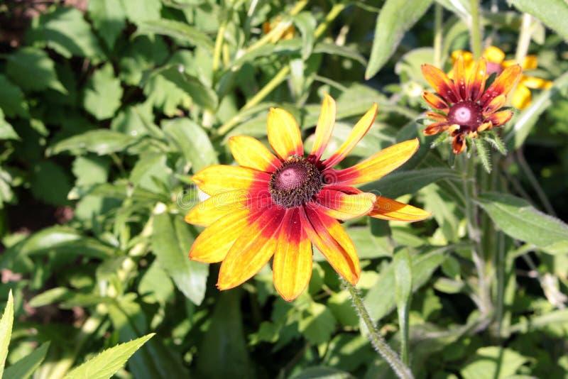 Fiore giallo dell'echinacea immagine stock libera da diritti