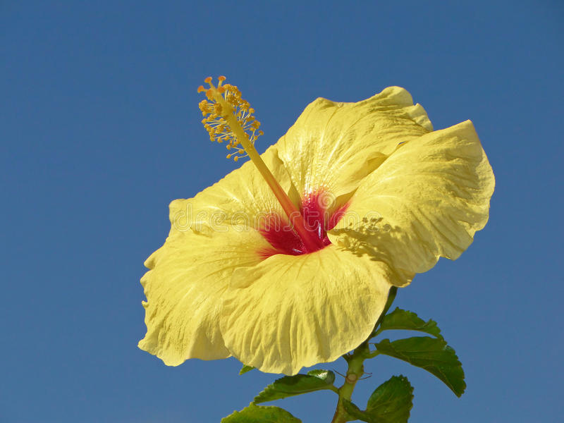 Fiore giallo dell'ibisco fotografia stock