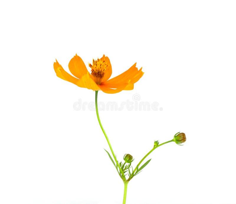 Fiore giallo dell'universo fotografia stock libera da diritti