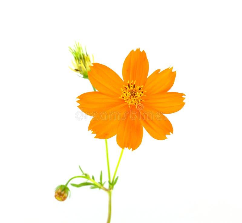 Fiore giallo dell'universo fotografia stock