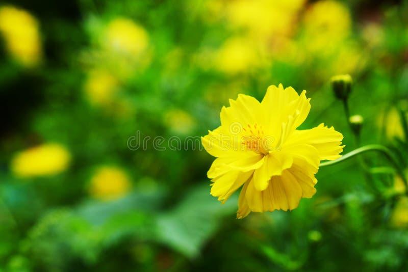 Fiore giallo dell'universo con il fondo verde del giardino fotografia stock libera da diritti