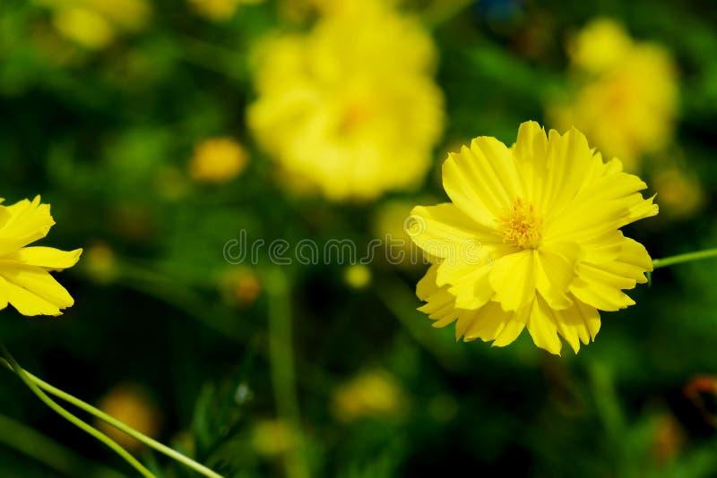 Fiore giallo dell'universo con il fondo verde del giardino fotografie stock libere da diritti