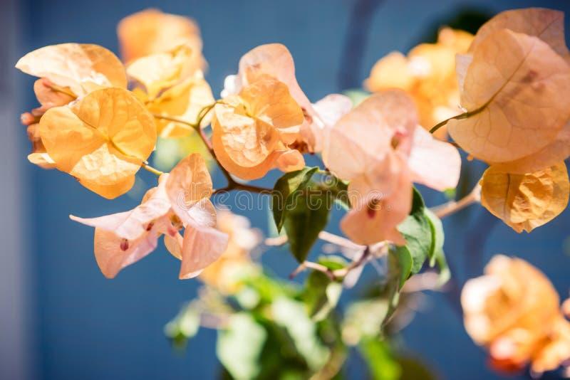 Fiore giallo della buganvillea sopra un fondo blu fotografia stock