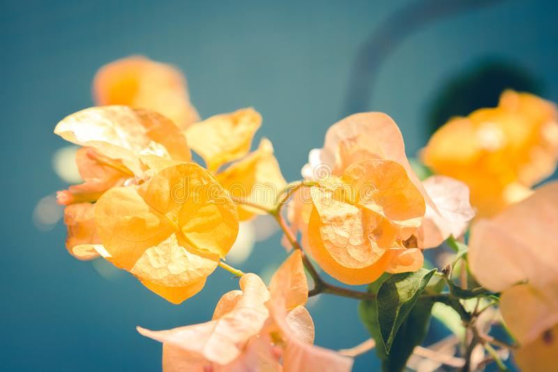Fiore giallo della buganvillea sopra un fondo del turchese immagine stock