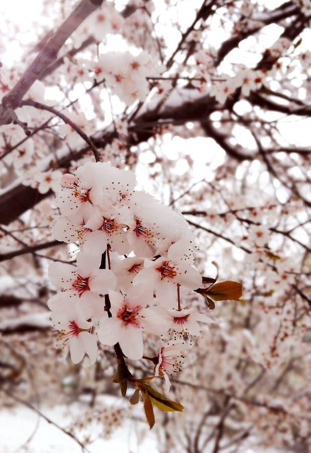 Fiore giallo della ciliegia di cornalina fotografie stock
