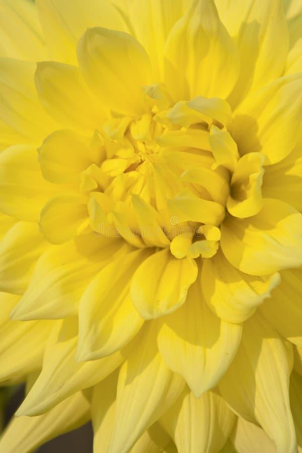 Fiore giallo della dalia immagini stock