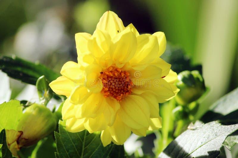 Fiore giallo della dalia fotografie stock