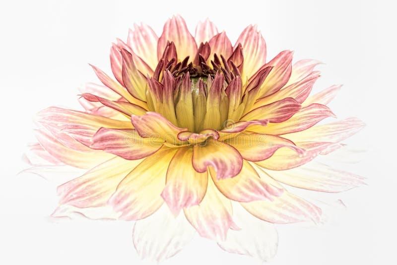 Fiore giallo della dalia isolato su priorità bassa bianca fotografie stock libere da diritti