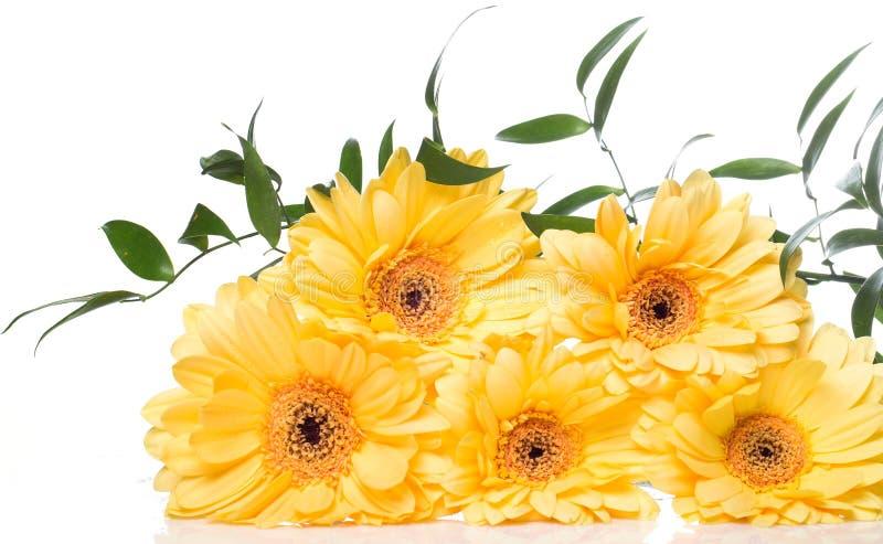 Fiore giallo della gerbera sopra i precedenti bianchi immagine stock