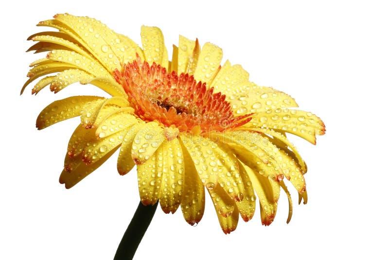 Fiore giallo della margherita del gerbera fotografia stock libera da diritti
