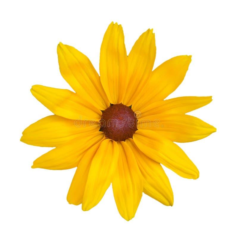 Fiore giallo della margherita, isolato su un bianco fotografia stock