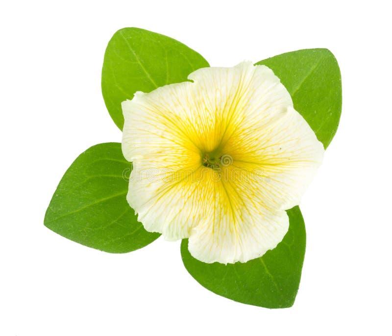 Fiore giallo della petunia con le foglie verdi isolate su fondo bianco fotografie stock libere da diritti