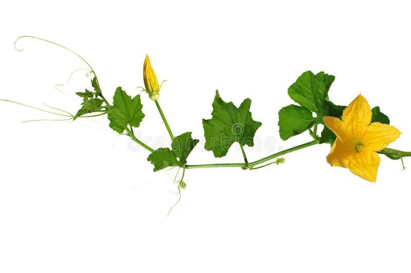 Fiore giallo della zucca fotografie stock libere da diritti