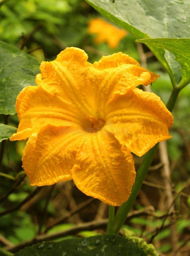 Fiore giallo della zucca con le foglie nel campo dell'azienda agricola fotografia stock