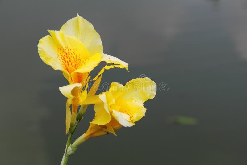 Fiore giallo di canna con i punti rossi fotografia stock - Fiore collegare i punti ...