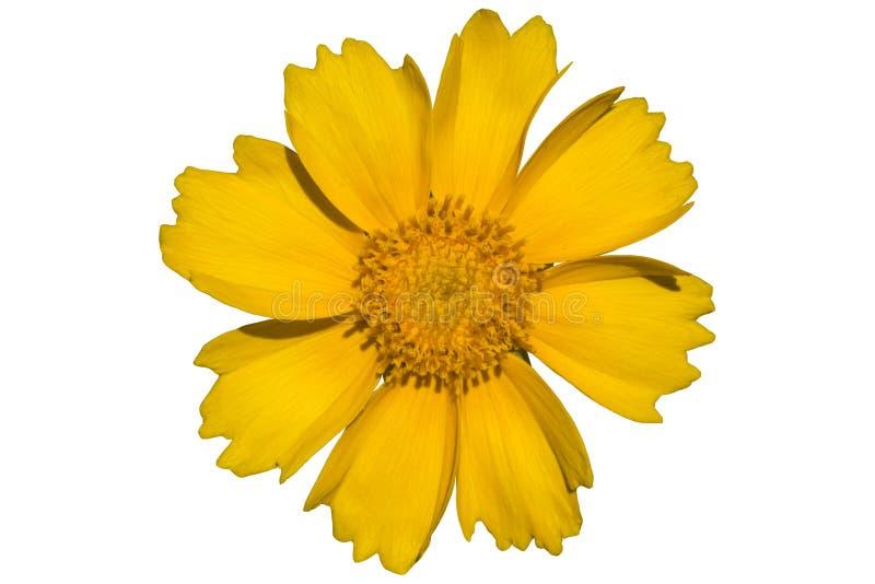 Download Fiore Giallo Di Coreopsis Nel Vento Isolato Su Bianco Illustrazione Vettoriale - Illustrazione di girasole, pianta: 117975252