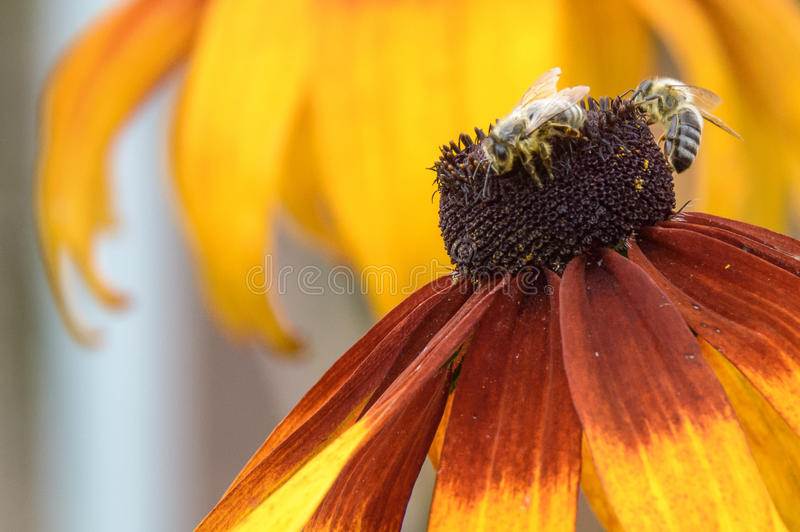 Fiore giallo di echinaceea con l'ape immagini stock