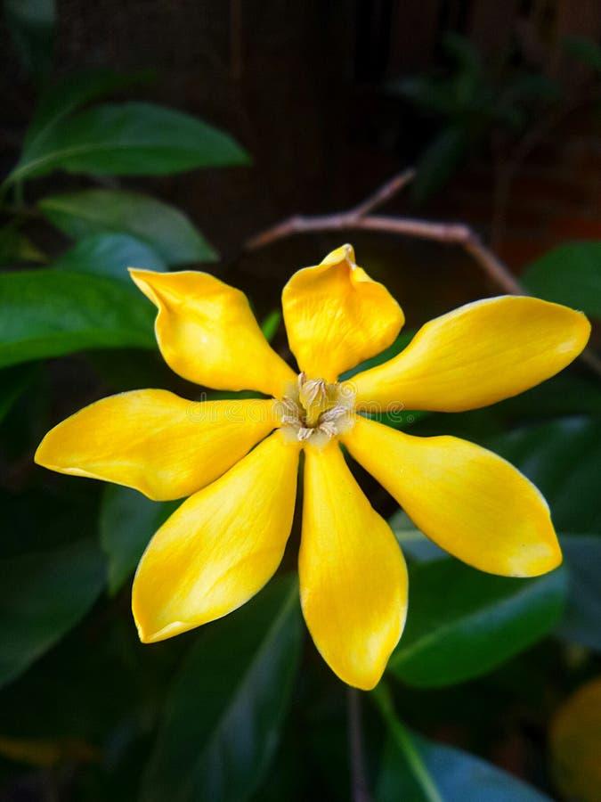 Fiori Gialli Gardenia.Fiore Giallo Di Gardenia Immagine Stock Immagine Di Profumo