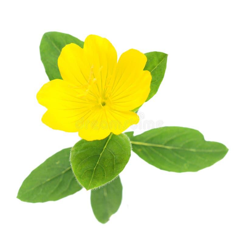 Fiore giallo di frutcosa del oenothera della primaverina fotografia stock