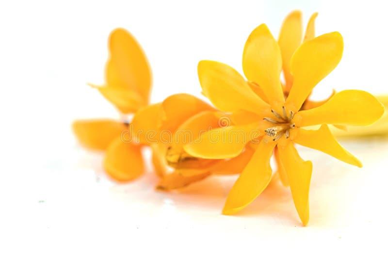 Fiori Gialli Gardenia.Foto Stock E Immagini A Tema Fiore Giallo Di Gardenia Scarica 64