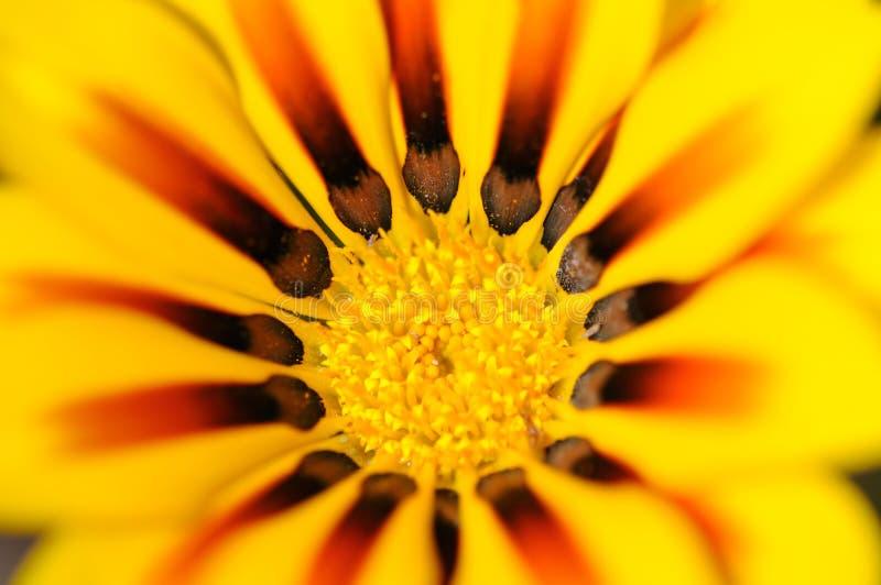 Fiore giallo di Gazania fotografie stock