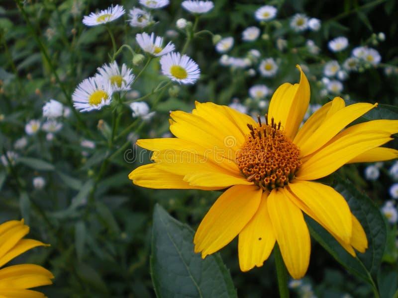 Fiore giallo di heliopsis immagini stock libere da diritti