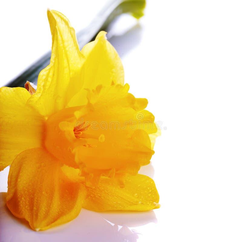 Fiore giallo di un narciso su un fondo bianco fotografia for Narciso giallo