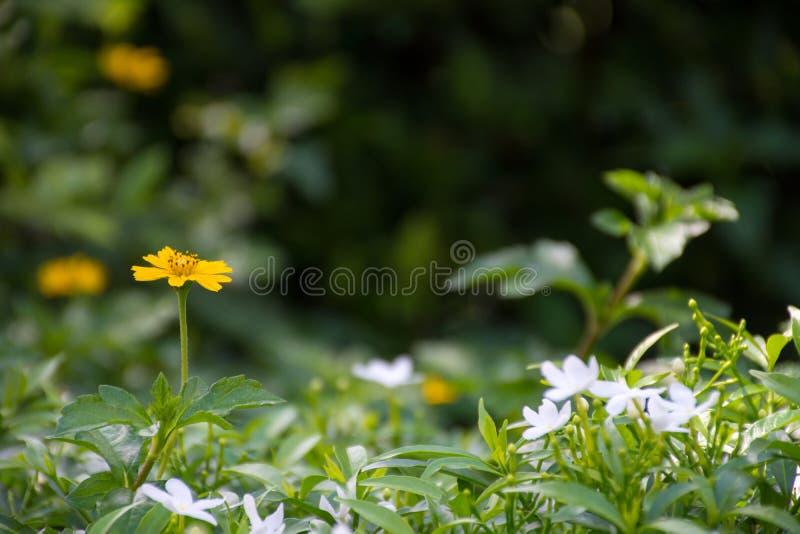 Fiore giallo e bianco sulle foglie verdi fotografia stock