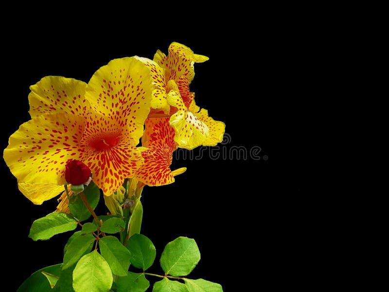 Fiore giallo e rosso con fondo nero fotografia stock libera da diritti