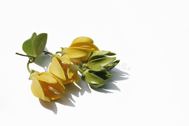 Fiore giallo e verde di Bhandari su fondo bianco fotografie stock