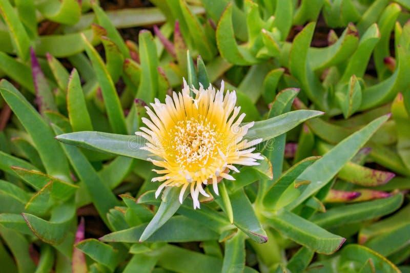 Fiore giallo edulis della fabbrica del ghiaccio della strada principale del hottentot-fico del Carpobrotus immagine stock