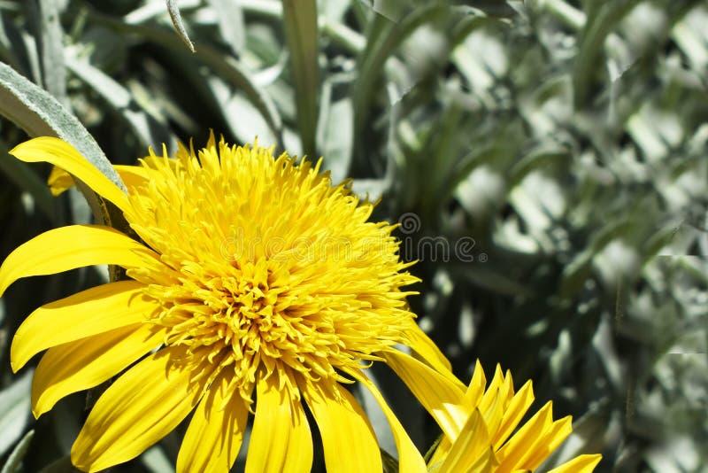 Fiore giallo fresco con lo spazio della copia fotografie stock libere da diritti