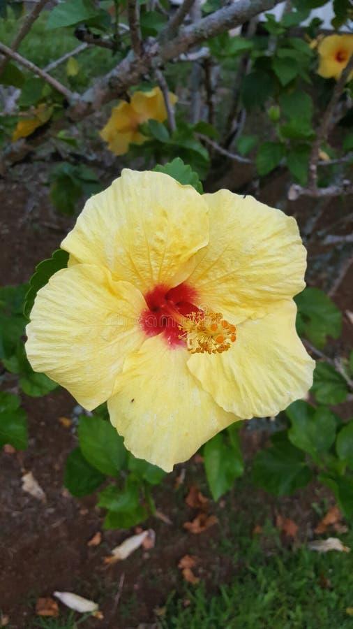 Fiore giallo Hawai immagini stock libere da diritti