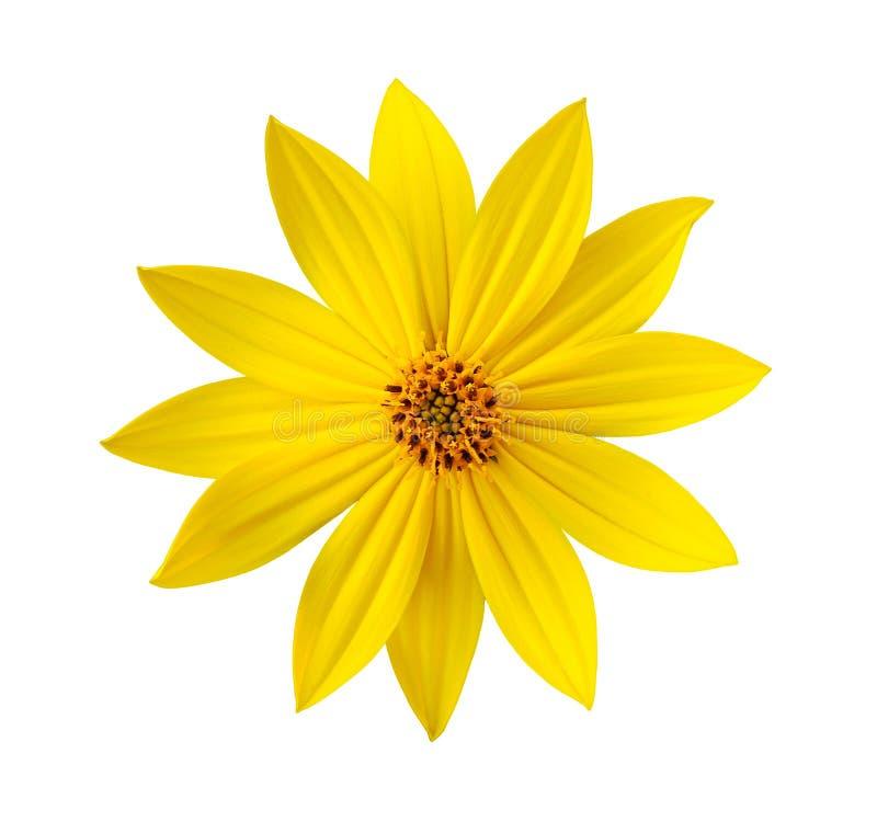 Fiore giallo isolato fotografie stock