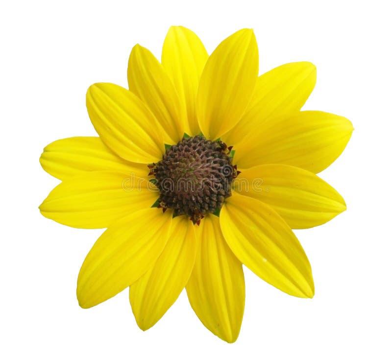 Fiore giallo isolato su priorità bassa bianca immagini stock