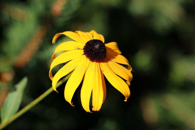 Fiore giallo luminoso di hirta di Rudbeckia o di margherita gialla con il centro nero e petali che iniziano ad appassire immagini stock