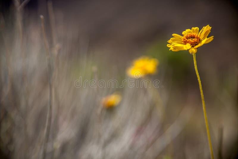 Fiore giallo nel parco nazionale di Grand Canyon, Arizona, U.S.A. immagine stock