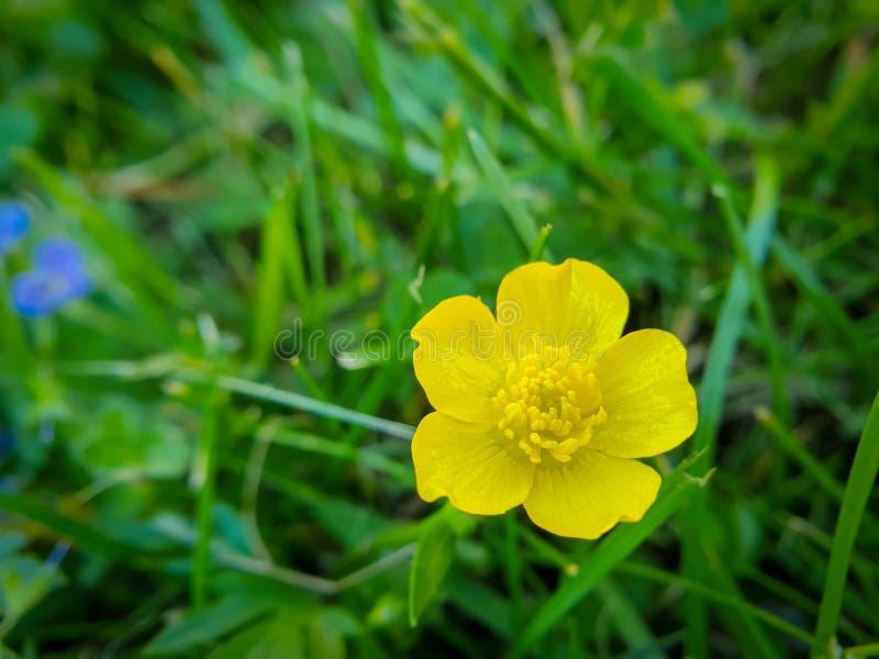 Fiore giallo, ranuncolo alto comune, acris del ranunculus su fondo verde fotografie stock libere da diritti
