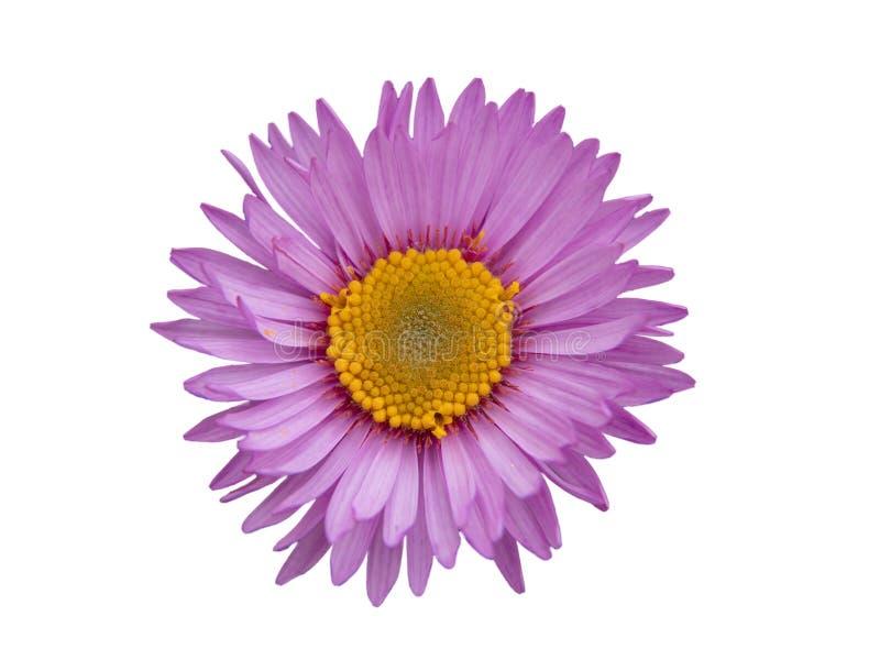 Fiore giallo rosa della margherita isolato su fondo bianco immagini stock