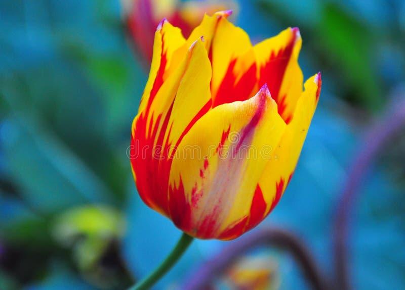 Fiore giallo rosso fotografia stock libera da diritti