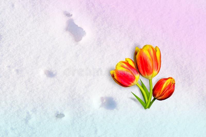 fiore Giallo-rosso del tulipano che si trova sulla neve, illuminata dal sole, fondo di inverno fotografia stock libera da diritti