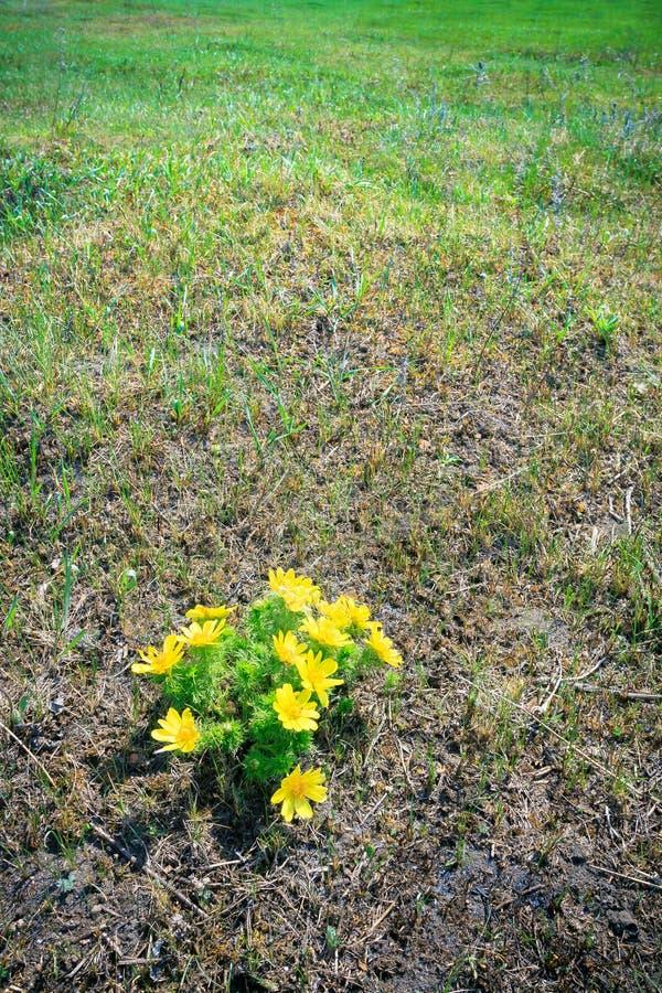 Fiore giallo selvaggio fotografia stock
