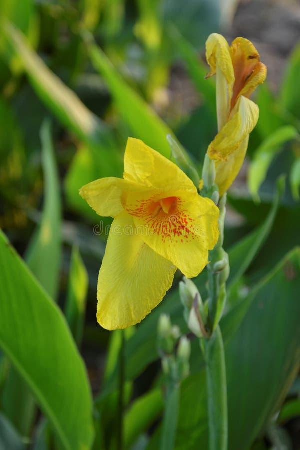 Fiore giallo sottolineato - 2 immagine stock libera da diritti