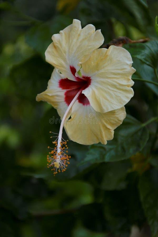 Fiore giallo sottolineato - 2 immagine stock
