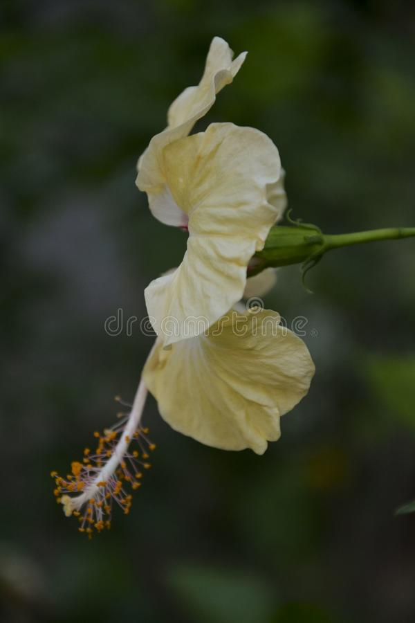 Fiore giallo sottolineato - 2 fotografie stock libere da diritti