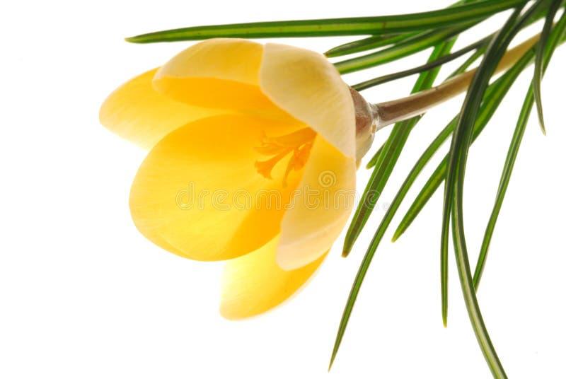 Fiore giallo su bianco fotografie stock libere da diritti