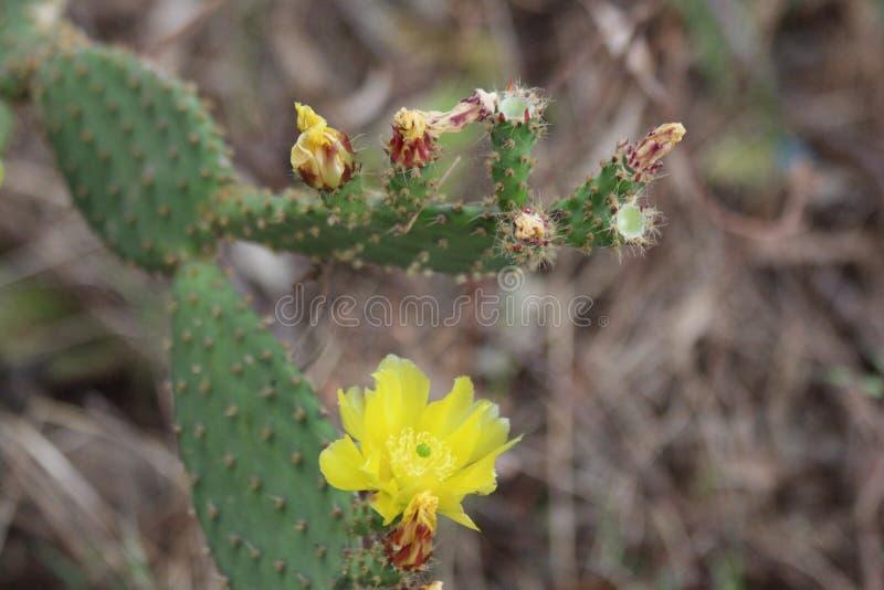 Fiore giallo sulla pianta del cactus fotografie stock libere da diritti